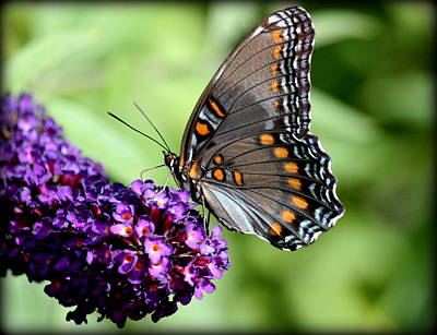 Red Spotted Purple Butterfly Beauty Original