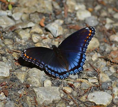 Photograph - Red Spotted Purple Butterfly - Limenitis Arthemis Astyanax by rd Erickson