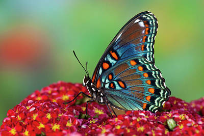 Yarrow Photograph - Red-spotted Purple Butterfly, Limenitis by Darrell Gulin