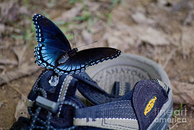 Photograph - Red Spotted Purple Butterfly by Sandra Clark