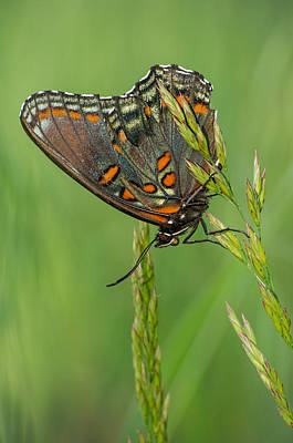 Photograph - Red-spotted Purple by Jim Zablotny