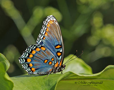 Photograph - Red-spotted Purple by Mike Fitzgerald