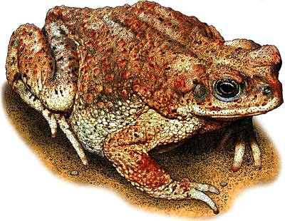Photograph - Red Spotted Toad by Roger Hall