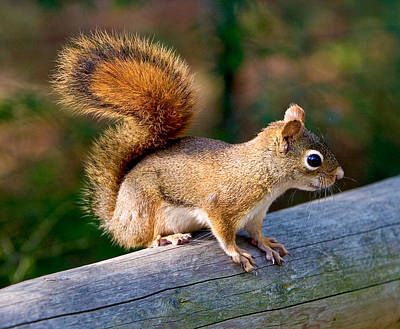 Photograph - Red Squirrel 7422  by Brent L Ander