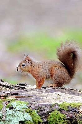 Red Squirrel Print by Colin Varndell