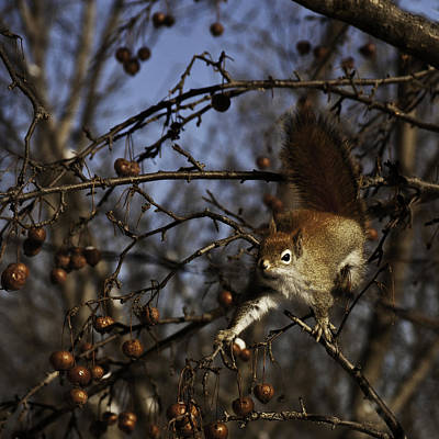 Photograph - Red Squirrel by Curtis Dale