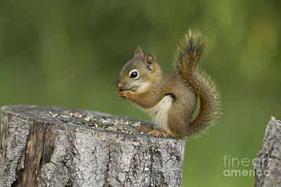 Pine Squirrel Photograph - Red Squirrel Eating by Linda Freshwaters Arndt