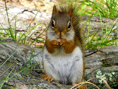 Photograph - Red Squirrel Eating Peanut Butter And Jelly by Artistic Indian Nurse