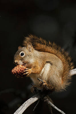 Red Squirrel Photograph - Red Squirrel Eating Pine Nut by Ken Archer