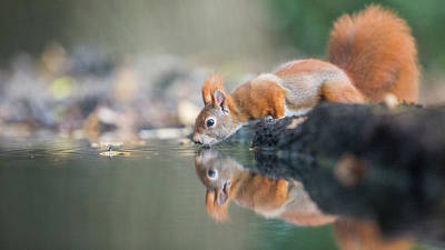 Squirrel Wall Art - Photograph - Red Squirrel by Erik Willaert