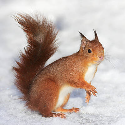 Photograph - Red Squirrel In Snow by Grant Glendinning