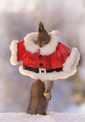 Christmas Squirrels Wall Art - Photograph - Red Squirrel Jumping On Snow While by Geert Weggen
