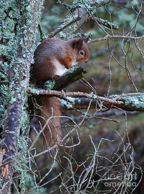 Photograph - Red Squirrel On Pine Tree by Phil Banks
