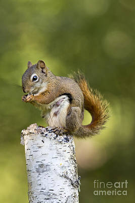 Red-tailed Squirrel Photograph - Red Squirrel by Linda Freshwaters Arndt