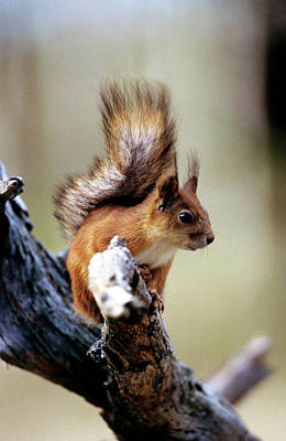 Red Squirrel Wall Art - Photograph - Red Squirrel by Louise Murray/science Photo Library