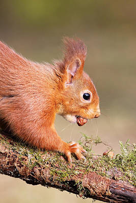 Photograph - Red Squirrel On Log by Grant Glendinning