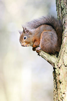 Photograph - Red Squirrel On Tree Branch by Grant Glendinning