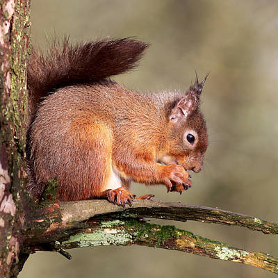 Photograph - Red Squirrel Perched Portrait by Grant Glendinning