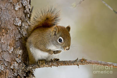Featured Tapestry Designs - Red Squirrel Pictures 103 by World Wildlife Photography