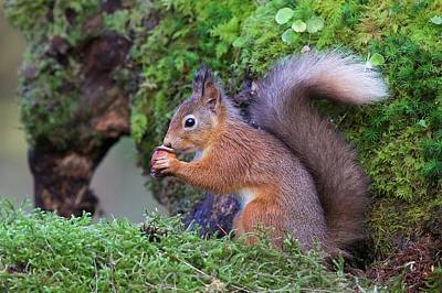 Squirrel Wall Art - Photograph - Red Squirrel by Ray Cooper