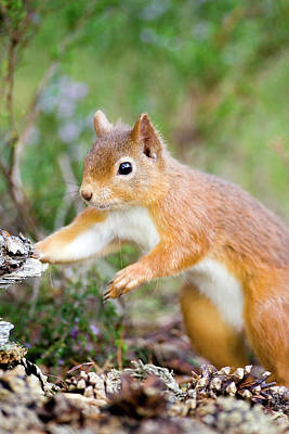 Red Squirrel Wall Art - Photograph - Red Squirrel (sciurus Vulgaris) by John Devries/science Photo Library