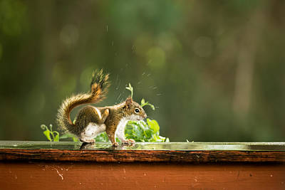 Photograph - Red Squirrel Scratching by Onyonet  Photo Studios
