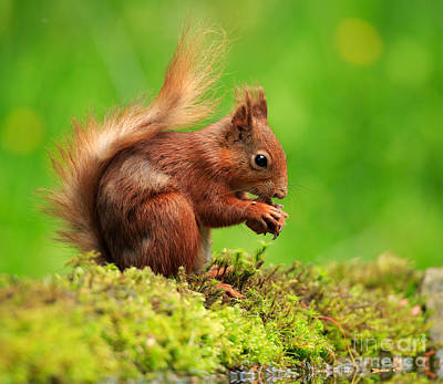 Red Squirrel With A Nut Art Print by Louise Heusinkveld