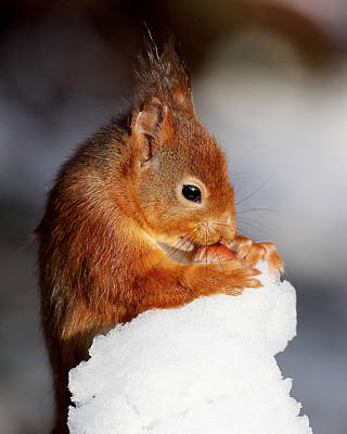 Photograph - Red Squirrel With Nut In Snow by Grant Glendinning