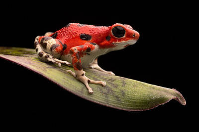 Red Strawberry Poison Dart Frog Art Print