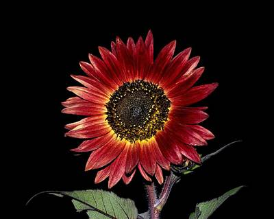 Photograph - Red Sunflower Against The Night Sky by Dakota Light Photography By Dakota