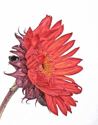 Photograph - Red Sunflower by David and Carol Kelly
