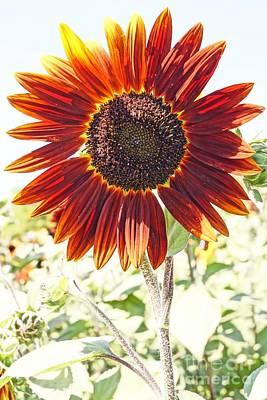 Red Sunflower Glow Art Print by Kerri Mortenson