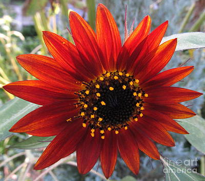 Valentines Day - Red Sunflower by Joshua Bales