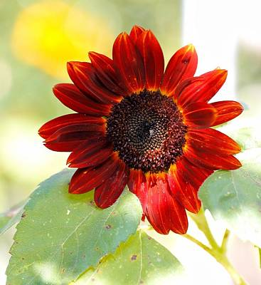 Photograph - Red Sunflower by Katherine White