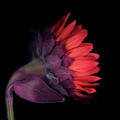 Red Sunflower Photograph - Red Sunflower On Black Background by Anna Miller