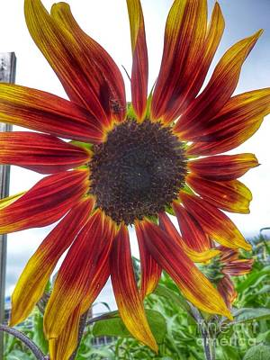 Photograph - Red Sunflower by Susan Garren