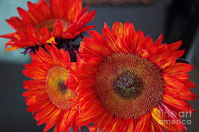 Photograph - Red Sunflowers by Diana Mary Sharpton