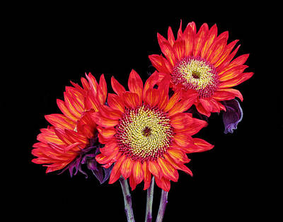 Photograph - Red Sunflowers Iv by David and Carol Kelly