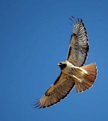 Photograph - Red Tail Blue Sky by Trent Mallett