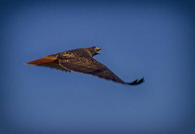 Photograph - Red Tail Calling by Robert Woodward
