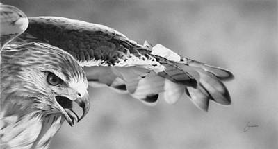 Red Tail Hawks Drawing - Red Tail by Doug Comeau