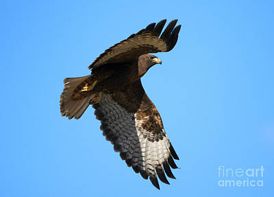 Red Tail Hawk Photograph - Red-tail Flight by Mike Dawson