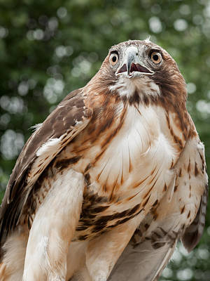 Red Tail Hawk Photograph - Red Tail Hawk by Bill Wakeley