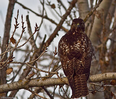 Art Print featuring the photograph Red Tail Hawk by Brian Williamson