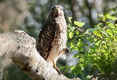 Photograph - Red Tail Hawk - Circle B Bar Reserve by John Black