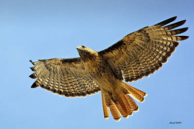 Red Tail Hawk Circling Above Art Print by Stephen  Johnson