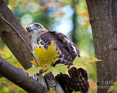 Print featuring the photograph Red Tail Hawk Closeup by Eleanor Abramson