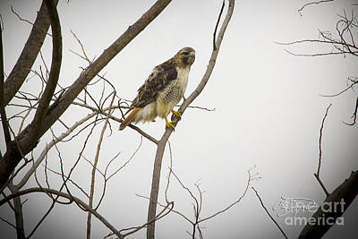 Decor Photograph - Red Tail Hawk by Cris Hayes
