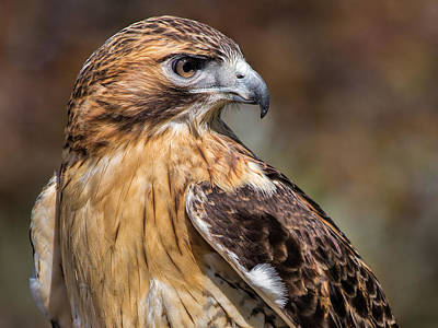 Red Tail Hawks Photograph - Red Tail Hawk by Dale Kincaid