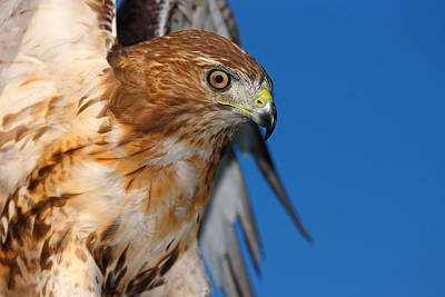 Photograph - Red Tail Hawk by Fuad Azmat